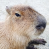 Forest Cafe Animeal with Capybara - New Animal Cafe in Osaka