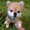 How to Buy Mameshiba (Shiba Inu) - 3 Recommended ways
